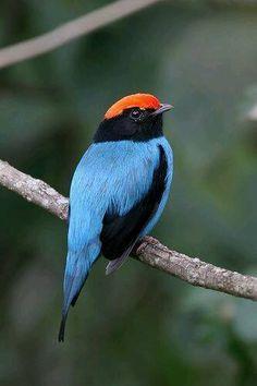 Chiroxiphia caudata - Blue Manakin