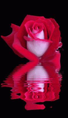 Flowers, Flores, Color Splash, Animations, Animated Gif, Animated Gifs, Beautiful Flowers, Animated Flowers, Roses, Animation, Keefers photo Keefers_AnimatedRose3-2.gif
