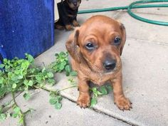3 female mini dachchunds for sale. Born on the 16th of August and ready for…
