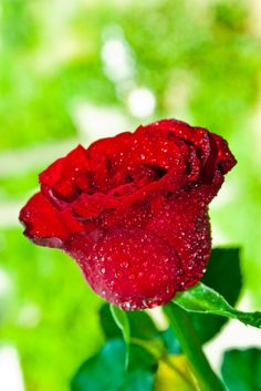 How To Make Rose Water & Why You Should Use It For Your Face|revitaliseyourhealth.com