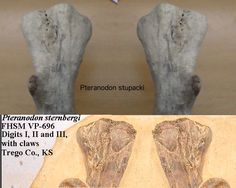 This is a fossil mold of the Wing Phalanx of a Pteranodon