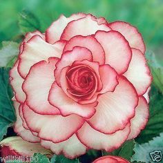 Begonia Picotee White Red (4 Bulbs)Fragrant blosssoms from summer to frost
