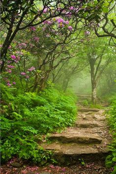 ~~Craggy Steps ~ Blooming Catawba Rhododendrons