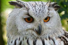 Pöllö, Lintu, Eläinten, Huuhkaja