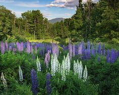 Lupine in bloom in the valley below the White Mountains of New Hampshire USA. Mount Lafayette is in the distance.
