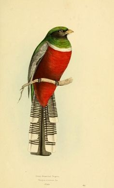 Green-breasted Trogon. A Selection of the Birds of Brazil and Mexico, William Swainson. 1841.