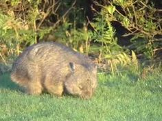 Wombats dig extensive burrow systems with rodent-like front teeth and powerful claws. One distinctive adaptation of wombats is their backwards … Common Wombat, Slow Loris, Crocodile Hunter, Geography For Kids, Australia Animals, Nocturnal Animals, Animal Facts, Rodents, Natural World