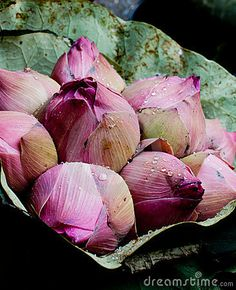 Wrapped bunch of pink Lotus blossom Buds with dew drops on them. for sale in street flower market Bangkok Thailand Asia