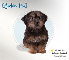 """Did you know that Yorkipoos are the """"mixed breed,"""" the result of the breeding of a Poodle to a Yorkshire Terrier? Read more about this breed by visiting Petplan pet insurance's Condition Checker!"""