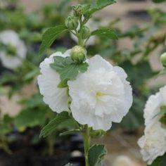 Alcea rosea Charters Hvid - Stokrose
