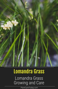 Learn how to care for the Lomandra Grass - growing, care of the grass known as mat rushes has long slender strappy green leaves. Lomandra, The Clumps, Butterfly Species, Australian Plants, Balcony Plants, Low Maintenance Plants, Greek Words, Types Of Soil, Ornamental Grasses