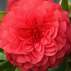 Camellia  'Nuccio's Bella Rossa'  Ciao bella! Dressed up in gigantic bright red blossoms, 'Nuccio's Bella Rossa' Camellias are wintertime beauties. Blooming non-stop from late winter to spring, these evergreen shrubs flaunt long-lasting, formal double, scarlet flowers over glossy green leaves. Elegant and easy to grow, just perfect for screening or accents, or brightening up shady spots with dazzling color that never fades.