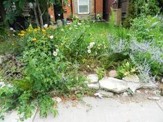 """Greektown/Toronto garden cleanup by Paul Jung Gardening Services before.   This small front garden, located just north of Danforth Ave., receives full sun which the perennials and, unfortunately, the weeds just love. Here are some before and after pictures of the clean up. A 2""""-3"""" layer of mulch was applied after to reduce the amount of weeds re-appearing and lower watering needs."""