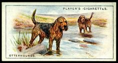 """Cigarette Card - Otterhounds Player's Cigarettes """"Dogs, Scenic Background"""" (series of 50 issued in Otterhounds Dog Artwork, Vintage Dog, New York Public Library, Old Postcards, Book Of Shadows, Art Drawings, Dog Cat, Vintage Illustrations, History"""