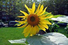 Mitten im Gemüse: Eine Sonnenblume.