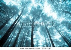 pine forest in the f