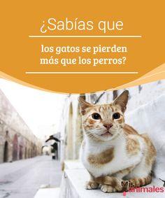 ¿Sabías que los gatos se pierden más que los perros?   Tal vez no lo sabías, pero los gatos se pierden más que los perros. En este artículo descubrirás por qué se produce este fenómeno y su importancia. #perros #gatos #perdersen #consejos