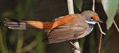 Rufous Fantail  http://www.birdlife.org.au/bird-profile/rufous-fantail