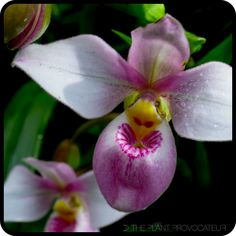 Phragmipedium schlimii floral profile #plants #orchids #southamericanslipperorchid #obsession #greed
