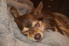 Chihuahua, Dogs, Animals, Animales, Animaux, Pet Dogs, Doggies, Animal, Chihuahua Dogs