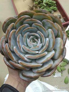 Succulent | 蓮座美人系