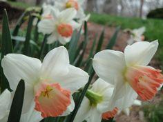 daffodil pink charm - Google Search