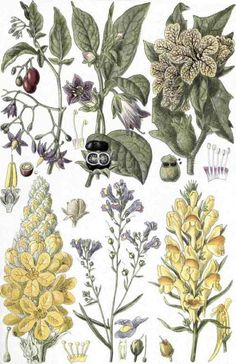 1 Bittersweet (Solanm Dulcamara, L.). 2. Deadly Nightshade (Atropa Belladonna, L.). 3. Henbane (Hyoscyamus niger, L.). 4. Mullein (Verbascum Thapsus, L.). 5. Creeping Toadflax (Linaria repens, Mill.). 6. Common Toadflax (Linaria vulgaris, Mill.).