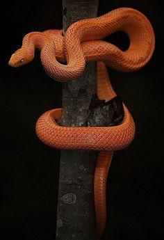 Patternless Albino Rat Snake byCulebra Venenosa 有毒的蛇species: Rat Snake