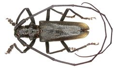 Family: Cerambycidae Size: 28-32 mm Distribution: Asia Location: Kazakhstan, Altai, Syrjomovsk leg V.Lukthanov, 1991, det. A.Weigel, 2002 Photo: U.Schmidt, 2006