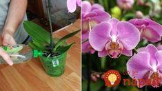 Lacný zázrak pre orchideu – len pár zálievok a svoje kvety nespoznáte: Toto je spása aj pre polomŕtve rastliny! Forks, Gardening, Plant, Flowers, Lawn And Garden, Bobby Pins, Horticulture