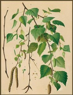 white birch leaves-catkins-cones