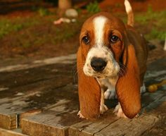 Baby basset hound. Look at those ears....how cute!