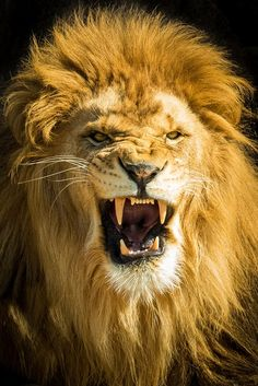 Best Lion Photos You Never Seen Before - Animals Comparison Lion Images, Lion Pictures, Lion And Lioness, Lion Of Judah, Tier Wallpaper, Animal Wallpaper, Big Animals, Nature Animals, Animals Images