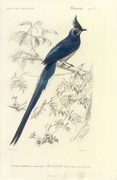 Antique print: picture of Colombia Jay (Found in California, Florida) - Pica colliei