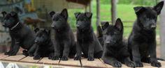 Handsome Black German Shepherd Puppies for Family - Cute Pet ...
