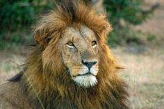 Instagram post by Vivien Markey • Sep 25, 2018 at 9:12am UTC #lion #africa #kenya #wildlife #safari