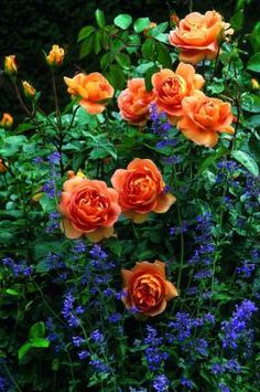 ine of my alltime favourite David Austen roses: 'Pat Austin' combined with nepeta (catmint)