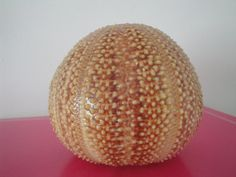 4.3 Large English Channel Sea Urchin Orange by seashells11035