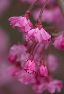 Drzewa Krzewy Ozdobne Na Stylowi Pl Amazing Flowers Pretty Flowers Pink Flowers