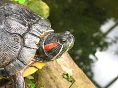 How to Set Up a Red-Eared Slider Turtles Tank