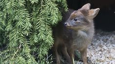 This photo provided by the Wildlife Conservation Society shows a newborn Southern pudu, native to Chile and Argentina, a member of the world's smallest deer species, that was born at the Queens Zoo last month in New York. The doe weighed 1 pound at birth. (AP Photo/Wildlife Conservation Society, Julie Larsen Maher) Summer  2013