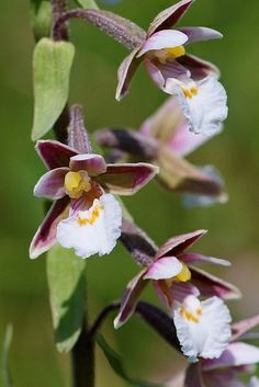 Orchid: Marsh Helleborine [Epipactis palustris] - Flickr - Photo Sharing!