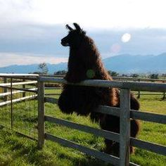 Wild Apple Llamas Llama Llama Red Pajama, Llama Alpaca, Beautiful Creatures, Animals Beautiful, Alpacas, Amphibians, Reptiles, Little Gentleman, Cute Funny Animals