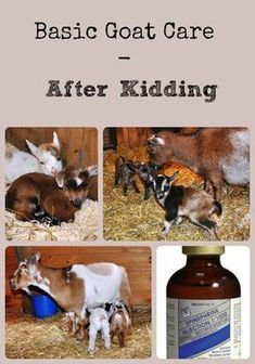 DIY Pets : Basic Goat Care After Kidding Description of the steps that should be taken in caring for the goat kids and doe after the doe freshens via Better Hens and Gardens Sharing is caring, don't forget to share ! Raising Farm Animals, Raising Goats, Keeping Goats, Goat Pen, Nubian Goat, Goat Care, Boer Goats, Nigerian Dwarf Goats, Goat Farming