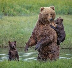 . Photography by © (Renee Doyle). One of the cubs was incredibly reluctant in entering the narrow creek. said one of the cubs was reluctant to enter the waters of the creekInstead, the #mother turned...