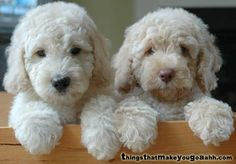 A Labradoodle is a dog created by crossing a Labrador and a Poodle. Cute Puppies, Cute Dogs, Dogs And Puppies, Doggies, Australian Labradoodle Puppies, White Labradoodle, F1b Labradoodle, Red Goldendoodle, Chihuahua