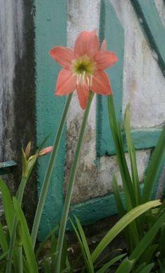 Setangkai Bunga Amarilis di Depan Tembok