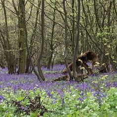 Driving to a client via beautiful bluebell wood #stripeinteriors