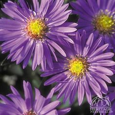 These are one of my current Fall favorites~ :) Aster Dragon™ Common name : Michaelmas Daisy (='Yodragon') Also known as Fall Asters, these are terrific favorites for autumn colour in the perennial border. Fall Garden Vegetables, Perennial Border, Aster, Michaelmas Daisy, Plants, Perennials, Flowers, Zinnias, Landscaping Plants