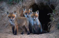 A trio of wild fox cubs cautiously exit their den near a farm road in Northampton County, Va.   PHOTO BY JAY DIEM/ASSOCIATED PRESS(via SFGate)